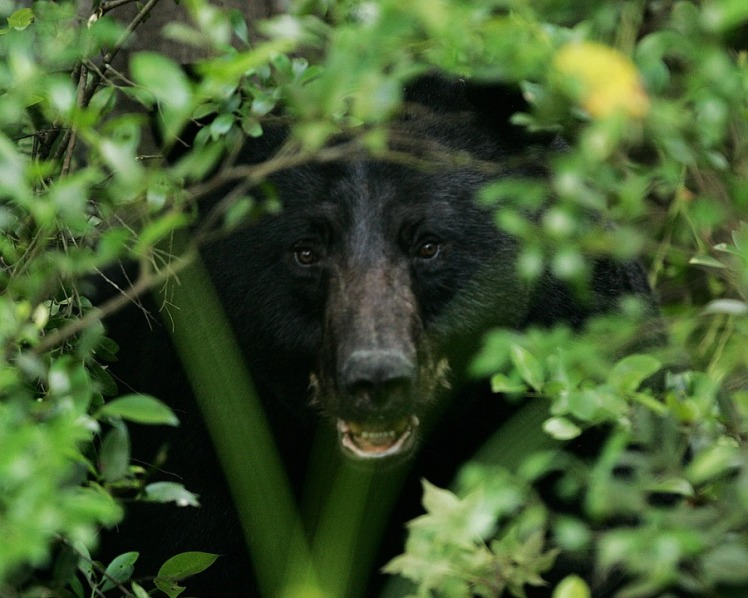 Black bear in woods.jpg